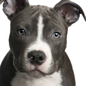 dog-picture-photo-american-pit-bull-terrier-puppy_600x600